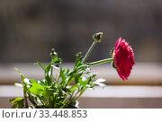 One flower a red buttercup in a flowerpot-bucket on a windowsill in the sunlight and blur. Copy space. Стоковое фото, фотограф Tetiana Chugunova / Фотобанк Лори