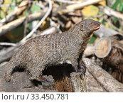 Купить «Funny Banded mongoose (Mungos mungo) in summer», фото № 33450781, снято 29 августа 2019 г. (c) Валерия Попова / Фотобанк Лори