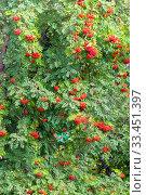 Купить «Red fruits of ripe mountain ash on tree branches on a sunny summer day. Close-up.», фото № 33451397, снято 18 августа 2019 г. (c) Акиньшин Владимир / Фотобанк Лори