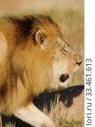 Купить «African Lions», фото № 33461613, снято 2 апреля 2020 г. (c) easy Fotostock / Фотобанк Лори
