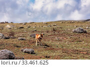Купить «Hunting very rare endemic ethiopian wolf, Canis simensis, Sanetti Plateau in Bale mountains, Africa Ethiopian wildlife. Only about 440 wolfs survived in Ethiopia», фото № 33461625, снято 2 апреля 2020 г. (c) easy Fotostock / Фотобанк Лори