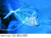 Купить «Селена или рыба вомер (Selene vomer)», фото № 33463085, снято 19 марта 2020 г. (c) Татьяна Белова / Фотобанк Лори