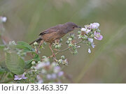 Dartford Warbler (Sylvia undata) perched on bramble flower, Suffolk, England, UK, June. Стоковое фото, фотограф Robin Chittenden / Nature Picture Library / Фотобанк Лори