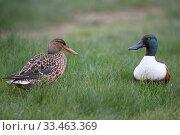Купить «Shoveler (Anas clypeata) male and female, Norfolk, England, UK. April.», фото № 33463369, снято 27 мая 2020 г. (c) Nature Picture Library / Фотобанк Лори