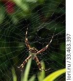 Купить «Orb weaver spider (Argiope argentata) female. Dominica, West Indies, Caribbean. October.», фото № 33463397, снято 14 июля 2020 г. (c) Nature Picture Library / Фотобанк Лори