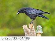 Carrion Crow, Corvus corone corone, Corneja Negra, Castilla y León, Spain, Europe. Стоковое фото, фотограф Alberto Carrera / age Fotostock / Фотобанк Лори