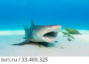 Купить «Lemon shark (Negaprion brevirostris) laying on the seabed with mouth open to be cleaned by wrasse. Grand Bahama Island, Bahamas.», фото № 33469325, снято 5 июля 2020 г. (c) Nature Picture Library / Фотобанк Лори