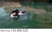 Купить «Humboldt penguin in the water.», видеоролик № 33469529, снято 30 марта 2020 г. (c) Serg Zastavkin / Фотобанк Лори