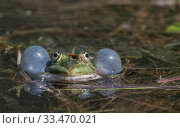 Купить «Edible frog (Rana esculenta), male in pond croaking, vocal sacs inflated, Finland, May.», фото № 33470021, снято 2 июня 2020 г. (c) Nature Picture Library / Фотобанк Лори