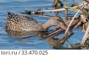 Купить «Shoveler (Spatula clypeata), female foraging, Finland, May.», фото № 33470025, снято 27 мая 2020 г. (c) Nature Picture Library / Фотобанк Лори