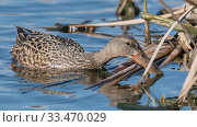 Купить «Shoveler (Spatula clypeata), female foraging, Finland, May.», фото № 33470029, снято 27 мая 2020 г. (c) Nature Picture Library / Фотобанк Лори