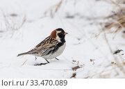 Купить «Lapland longspur (Calcarius lapponicus) male in snow, Norway, June.», фото № 33470089, снято 4 апреля 2020 г. (c) Nature Picture Library / Фотобанк Лори