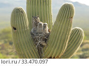 Купить «Great horned owl (Bubo virgininus) in nest with chicks in Saguaro cactus (Carnegiea gigantea) Sonoran desert, Arizona, USA.», фото № 33470097, снято 4 апреля 2020 г. (c) Nature Picture Library / Фотобанк Лори