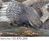 Indian crested porcupine (Hystrix indica) portrait, captive. Стоковое фото, фотограф Ernie  Janes / Nature Picture Library / Фотобанк Лори