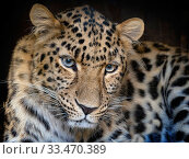 RF - Amur leopard (Panthera pardus orientalis) portrait, captive, occurs in China and Russia. (This image may be licensed either as rights managed or royalty free.) Стоковое фото, фотограф Ernie  Janes / Nature Picture Library / Фотобанк Лори