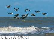 Купить «RF - Brent geese (Branta bernicla) flock in flight over the north sea at Titchwell RSPB Reserve, Norfolk, UK. (This image may be licensed either as rights managed or royalty free.)», фото № 33470401, снято 2 апреля 2020 г. (c) Nature Picture Library / Фотобанк Лори