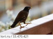 Купить «A black bird with a yellow beak (Acridotheres tristis) steps along the railing of the balcony», фото № 33470421, снято 5 февраля 2020 г. (c) Олег Белов / Фотобанк Лори