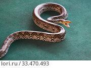Купить «Big python crawls on a green carpet, opening a mouth for attack», фото № 33470493, снято 2 февраля 2020 г. (c) Олег Белов / Фотобанк Лори