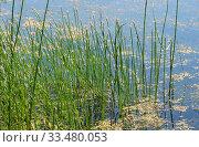 Болотница болотная цветет (Eleocharis palustris). Ряска малая (Lemna minor) Стоковое фото, фотограф Щеголева Ольга / Фотобанк Лори
