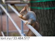 Рыжая белка ест орех в парку. Стоковое фото, фотограф Литвяк Игорь / Фотобанк Лори