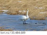 Купить «Лебедь-кликун (Cygnus cygnus). Птица ранней весной стоит на льду озера. Барабинский район Новосибирской области», фото № 33484689, снято 30 марта 2020 г. (c) Григорий Писоцкий / Фотобанк Лори