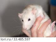 Купить «White domestic rat in hand», фото № 33485597, снято 7 марта 2014 г. (c) Argument / Фотобанк Лори