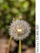 Купить «A sphere of dandelion seeds (Taraxacum officinale) close-up», фото № 33486581, снято 12 марта 2020 г. (c) Татьяна Ляпи / Фотобанк Лори