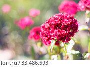 Купить «Цветущая розовая турецкая гвоздика в летнем саду», фото № 33486593, снято 5 июля 2012 г. (c) Papoyan Irina / Фотобанк Лори
