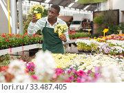 Florist engaged in cultivation of marguerites. Стоковое фото, фотограф Яков Филимонов / Фотобанк Лори
