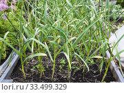 Купить «Allium sativum - Garlic being grown organically in wooden box container in residential backyard organic garden in summer.», фото № 33499329, снято 25 июля 2017 г. (c) age Fotostock / Фотобанк Лори