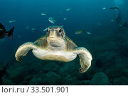 Купить «Green turtle (Chelonia mydas), South Tenerife, Canary Islands, Atlantic Ocean.», фото № 33501901, снято 30 мая 2020 г. (c) Nature Picture Library / Фотобанк Лори