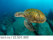 Купить «Green turtle (Chelonia mydas), South Tenerife, Canary Islands, Atlantic Ocean.», фото № 33501905, снято 30 мая 2020 г. (c) Nature Picture Library / Фотобанк Лори