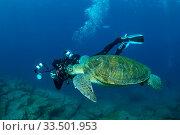 Купить «Scuba diver photographing a Green turtle (Chelonia mydas), South Tenerife, Canary Islands, Atlantic Ocean.», фото № 33501953, снято 11 июля 2020 г. (c) Nature Picture Library / Фотобанк Лори