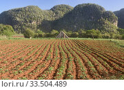 Купить «Tobacco farm, Viñales, Cuba.», фото № 33504489, снято 9 марта 2020 г. (c) age Fotostock / Фотобанк Лори