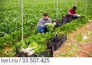 Купить «Farmers work in a greenhouse - harvest and clean mangold», фото № 33507425, снято 28 мая 2020 г. (c) Яков Филимонов / Фотобанк Лори
