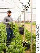 Male gardener picking mangold while gardening in greenhouse at sunny day. Стоковое фото, фотограф Яков Филимонов / Фотобанк Лори