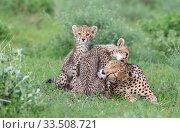Купить «Cheetah (Acinonyx jubatus) female and two cubs, mother and cub grooming each other. Masai Mara National Reserve, Kenya.», фото № 33508721, снято 8 апреля 2020 г. (c) Nature Picture Library / Фотобанк Лори