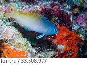 Купить «Twotone wrasse (Halichoeres prosopeion) over coral reef. Derawan Islands, East Kalimantan, Indonesia.», фото № 33508977, снято 5 июля 2020 г. (c) Nature Picture Library / Фотобанк Лори