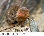 Купить «Common dwarf mongoose (Helogale parvula). Captive.», фото № 33509109, снято 4 августа 2020 г. (c) Nature Picture Library / Фотобанк Лори
