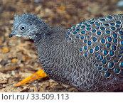Grey peacock-pheasant (Polyplectron bicalcaratum) portrait. Captive. Стоковое фото, фотограф Ernie  Janes / Nature Picture Library / Фотобанк Лори