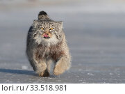 Pallas's cat (Otocolobus manul) licking lips whilst running over ice. East Mongolia. February. Стоковое фото, фотограф Sylvain Cordier / Nature Picture Library / Фотобанк Лори