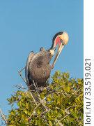 Brown pelican (Pelecanus occidentalis) preening, perched in tree. Magdalena Bay, Puerto San Carlos, Baja California Sur, Mexico. Стоковое фото, фотограф Sylvain Cordier / Nature Picture Library / Фотобанк Лори