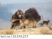 Gelada baboon (Theropithecus gelada) two males fighting, another Baboon in background. Debre Libanos, Rift Valley, Ethiopia. 2017. Стоковое фото, фотограф Sylvain Cordier / Nature Picture Library / Фотобанк Лори