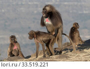 Gelada baboon (Theropithecus gelada) group including dominant male mating with female. Debre Libanos, Rift Valley, Ethiopia. Стоковое фото, фотограф Sylvain Cordier / Nature Picture Library / Фотобанк Лори