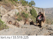Gelada baboon (Theropithecus gelada) group, male in foreground with females and young in background. Near cliff where Baboons spend the night. Debre Libanos, Rift Valley, Ethiopia. Стоковое фото, фотограф Sylvain Cordier / Nature Picture Library / Фотобанк Лори
