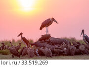 Marabou stork (Leptoptilos crumenifer) and group of vultures including White-backed vulture (Gyps africanus) feeding on African elephant (Loxodonta africana... Стоковое фото, фотограф Sylvain Cordier / Nature Picture Library / Фотобанк Лори
