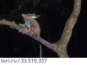 Купить «Spectral tarsier (Tarsius tarsier) feeding in tree at night, insect in mouth. Tangkoko National Park, Sulawesi, Indonesia.», фото № 33519337, снято 11 июля 2020 г. (c) Nature Picture Library / Фотобанк Лори