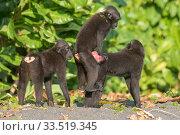 Купить «Celebes crested macaque (Macaca nigra), three including mating pair. Tangkoko National Park, Sulawesi, Indonesia.», фото № 33519345, снято 5 июня 2020 г. (c) Nature Picture Library / Фотобанк Лори
