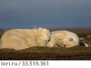 Купить «Polar bear (Ursus maritimus) female and cub sleeping on barrier island near Kaktovik. Arctic National Wildlife Refuge, Alaska, USA. September.», фото № 33519361, снято 14 июля 2020 г. (c) Nature Picture Library / Фотобанк Лори