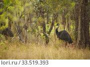 Emu (Dromaius novaehollandiae) Violet Vale, Queensland, Australia. Стоковое фото, фотограф Tim  Laman / Nature Picture Library / Фотобанк Лори